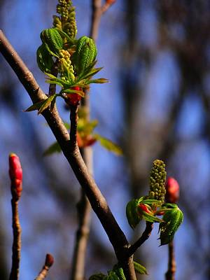 Photograph - Crazy Buds by Beth Akerman