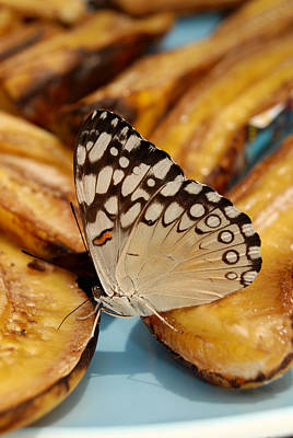 Polaroid Camera - Cream Colored Butterfly on Banana by Eva Kaufman