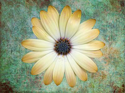 Cream Coloured Daisy Art Print by Chris Thaxter
