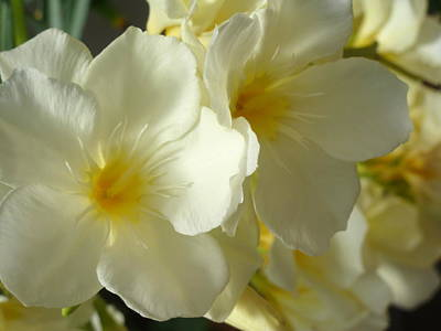 Photograph - Cream Flowers by Beth Akerman