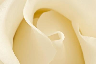 Photograph - Cream Rose by Steve Purnell