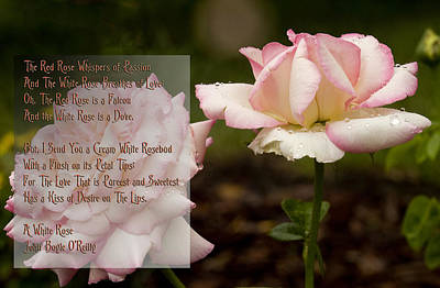 Cream White Rosebud With Poem Art Print by Barbara Middleton