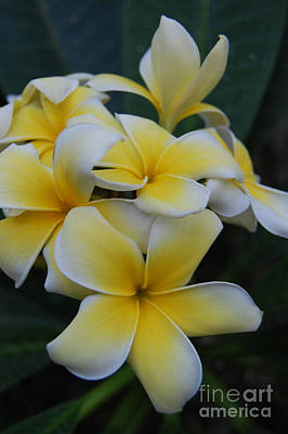 Creamy Yellow Flowers Art Print