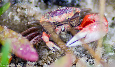 Photograph - Creepy Crab by Shannon Harrington