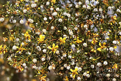 Photograph - Creosote Shrub by John Rizzuto