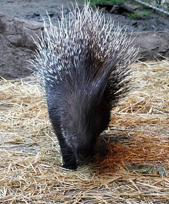 Photograph - Crested Porcupine - 0001 by S and S Photo