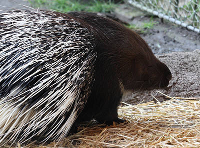 Photograph - Crested Porcupine - 0003 by S and S Photo