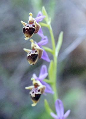 Photograph - Cretan Ladybird Orchid Ophrys Scolapax by Paul Cowan