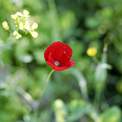 Photograph - Cretan Poppy by Paul Cowan