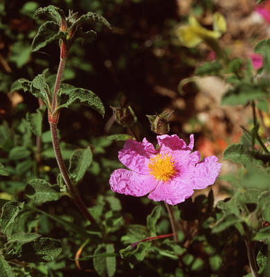 Photograph - Cretan Rock Rose Cistus Creticus by Paul Cowan