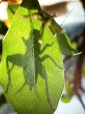 Cricket Shadow Art Print