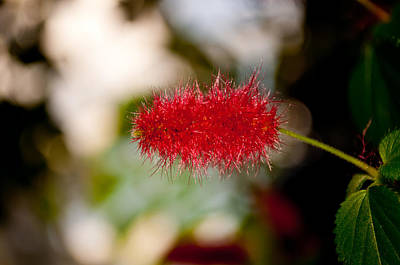 Photograph - Crimson Bottle Brush by Tikvah's Hope