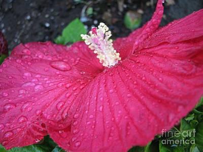 Photograph - Crimson  Hibiscus by Judyann Matthews