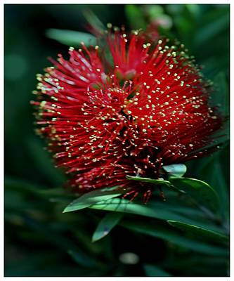 Photograph - Crimson Kunzea by Frank Wickham