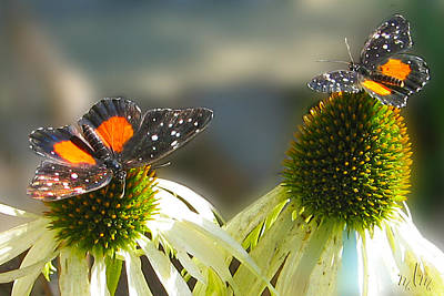 Photograph - Crimson Patch Butterfly by Marie Morrisroe