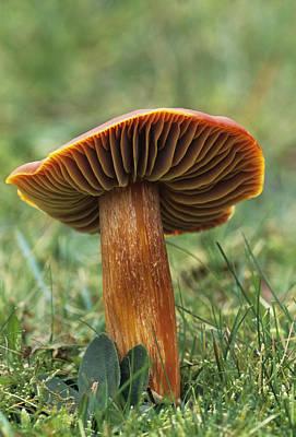 Crimson Wax Cap Mushroom Art Print