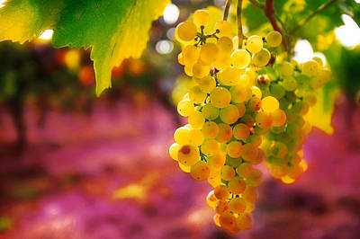 Photograph - Croatian Grapes by John Galbo