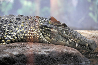 Photograph - Crocodile Smile by Jan Amiss Photography