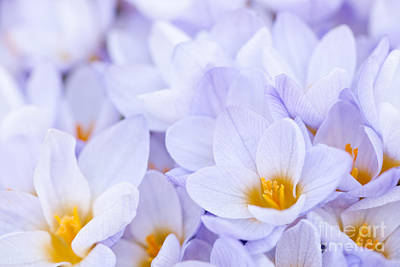 Violet Photograph - Crocus Flowers by Elena Elisseeva