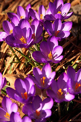 Photograph - Crocus Flowers by Emanuel Tanjala