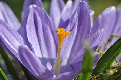 Art Print featuring the photograph Crocus by Rob Hemphill