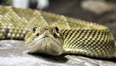 Viper Photograph - Crotalus Basiliscus by JC Findley