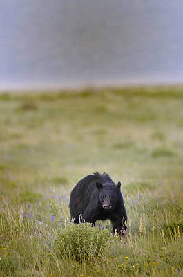 Photograph - Crouching Black Bear by Don Wolf