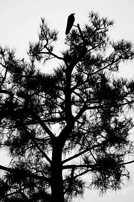 Photograph - Crow In A Tree by Dean Harte