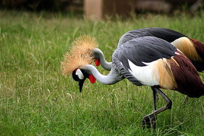 Photograph - Crowned Cranes by Van Corey