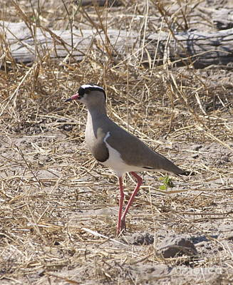 Wall Art - Photograph - Crowned Lapwing by Judith Hochroth