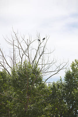 Tree Photograph - Crows High In Trees by Donna Munro