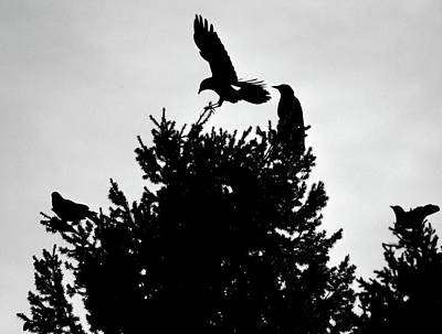 Photograph - Crows On The Roost by John Brink