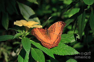 Butterfly Photograph - Cruiser Butterfly by Louise Heusinkveld