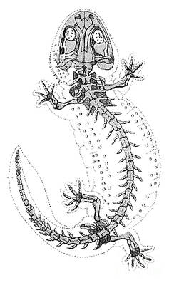 Fossil Reconstruction Photograph - Cryptobranchus, Living Fossil by Science Source