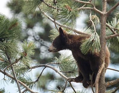 Photograph - Cub In Tree by Ernie Echols