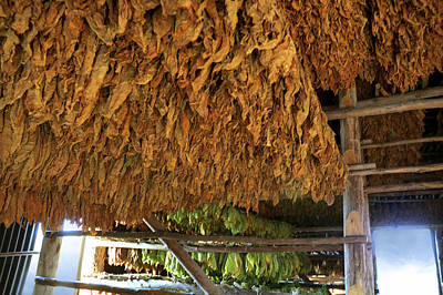 Photograph - Cuba. Leaf Tobbaco In Pinar Del Rio. by Juan Carlos Ferro Duque