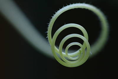 Photograph - Cucumber Tendril Spiral by Bonnie Boden