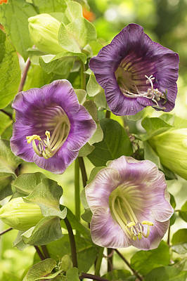 Cup-and-saucer Vine Cobaea Scandens Art Print by VisionsPictures