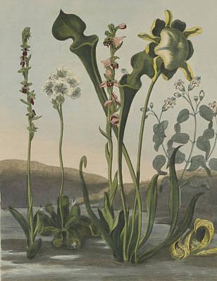 Pitcher Plants Drawing - Curious American Bog Plants by Robert John Thornton