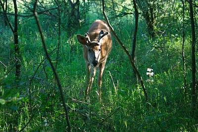 Whitetail Photograph - Curious Buck 7690 by Michael Peychich