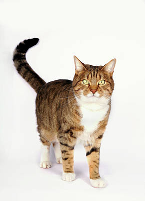 Tabby Photograph - Curious Cat Looking At Camera On White Background by Tom and Steve