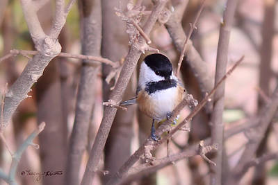 Photograph - Curious Chickadee by Tracey R Gates