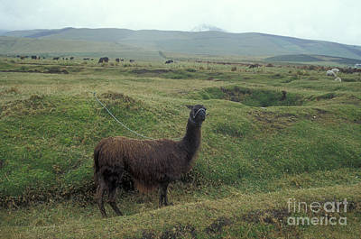 Photograph - Curious Llama Ecuador South America by John  Mitchell