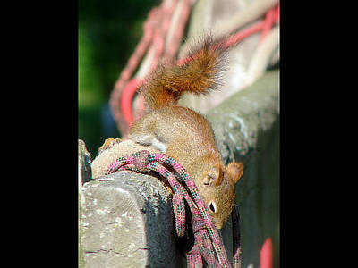 Mixed Media - Curious Red Squirrel by Bruce Ritchie