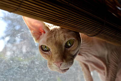Hairless Cat Photograph - Curious Sphynx by Fraida Gutovich
