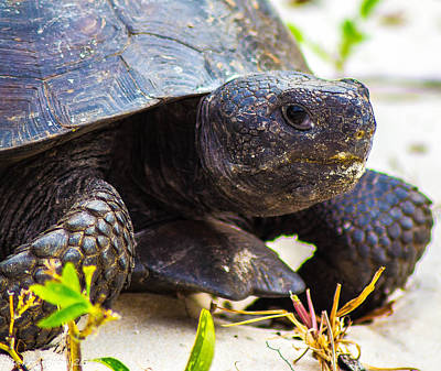 Photograph - Curious Turtle by Shannon Harrington