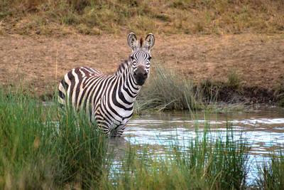 Photograph - Curious Zebra - Zebre Curieux by Michel Legare