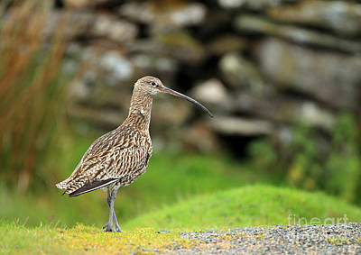 Curlew  Art Print by Clare Scott