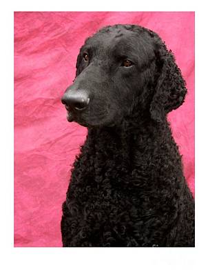 Retriever Digital Art - Curly Coated Retriever 374 by Larry Matthews