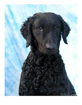 Retriever Digital Art - Curly Coated Retriever 629 by Larry Matthews
